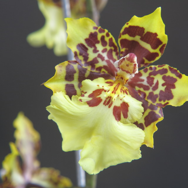 """Orchids close up"" stock image"