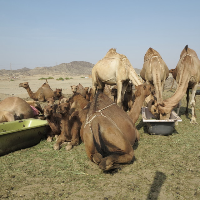 """Camels"" stock image"