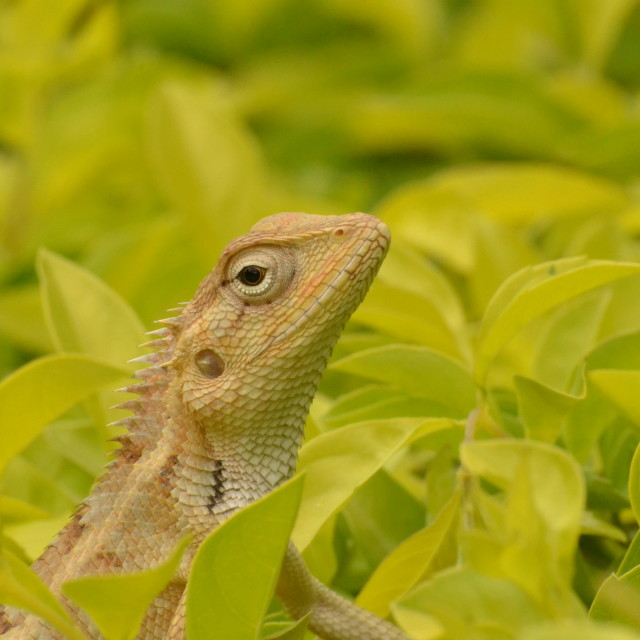"""Indian Chameleon"" stock image"