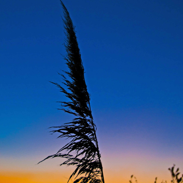 """Plant silhouete against a setting sun"" stock image"