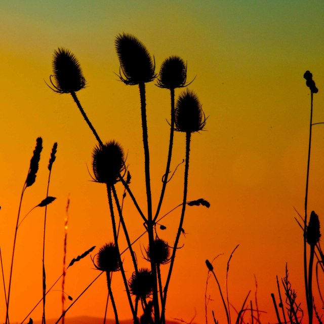 """Silhouette of thistles against a setting sun."" stock image"