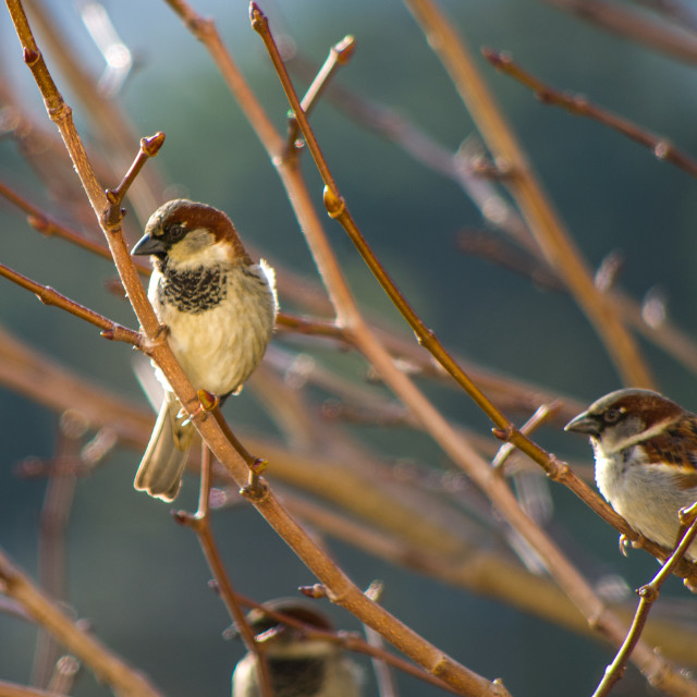 """Afternoon Sparrows"" stock image"