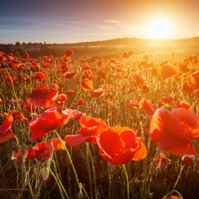 """Poppy Point Of View"" stock image"