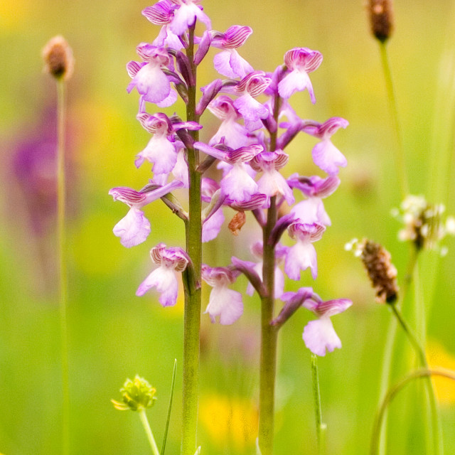 """""""Green-Winged Orchid"""" stock image"""