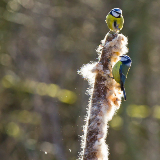 """Blue Tits and the Reed"" stock image"
