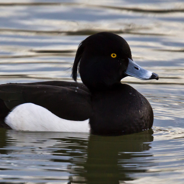 """Tufted Duck"" stock image"