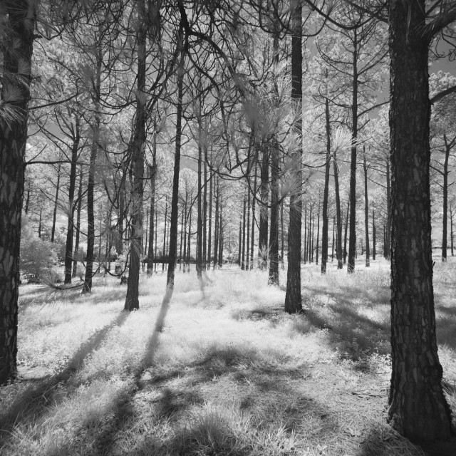 """Pine trees in infrared"" stock image"