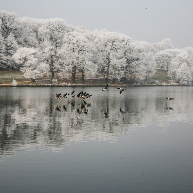 """""""Geese on the Lake"""" stock image"""