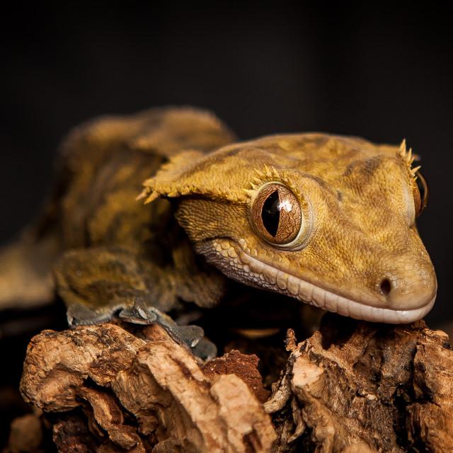 """Gecko Stare"" stock image"