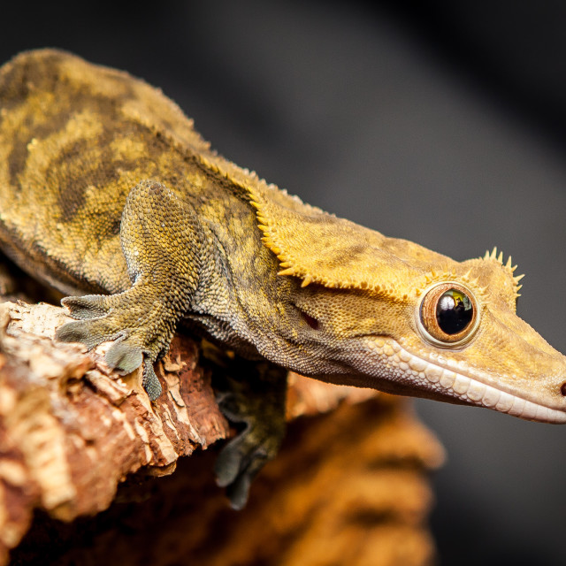 """Geoffrey the Gecko"" stock image"