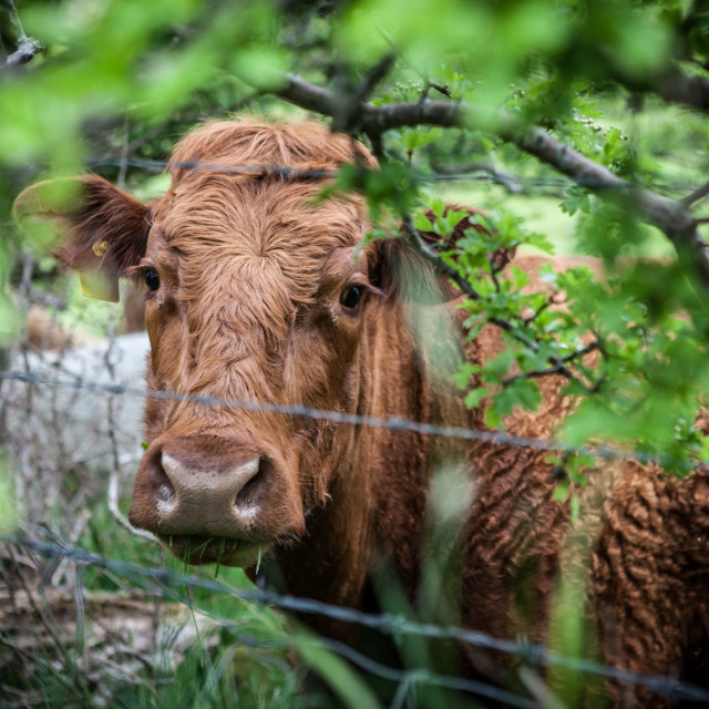 """Sad Devon Cow"" stock image"