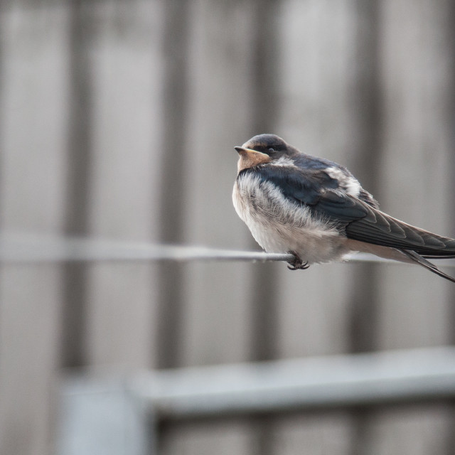 """""""Fat Bird on a Wire"""" stock image"""