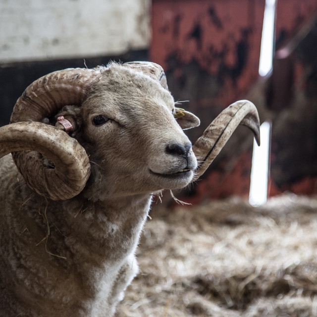 """""""Curly-Horned Ram"""" stock image"""