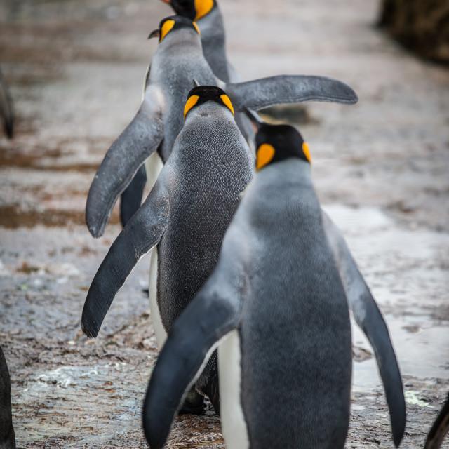"""Penguin Walk"" stock image"