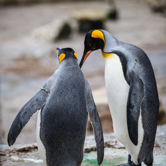 """Penguin Chat"" stock image"