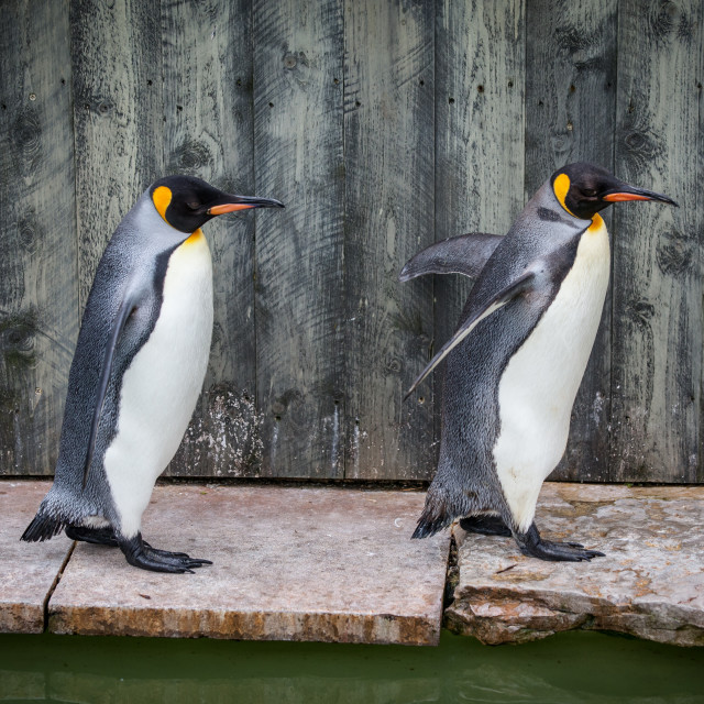 """Penguin Pair Profile"" stock image"