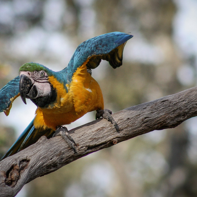 """""""Blue Parrot in a Tree"""" stock image"""