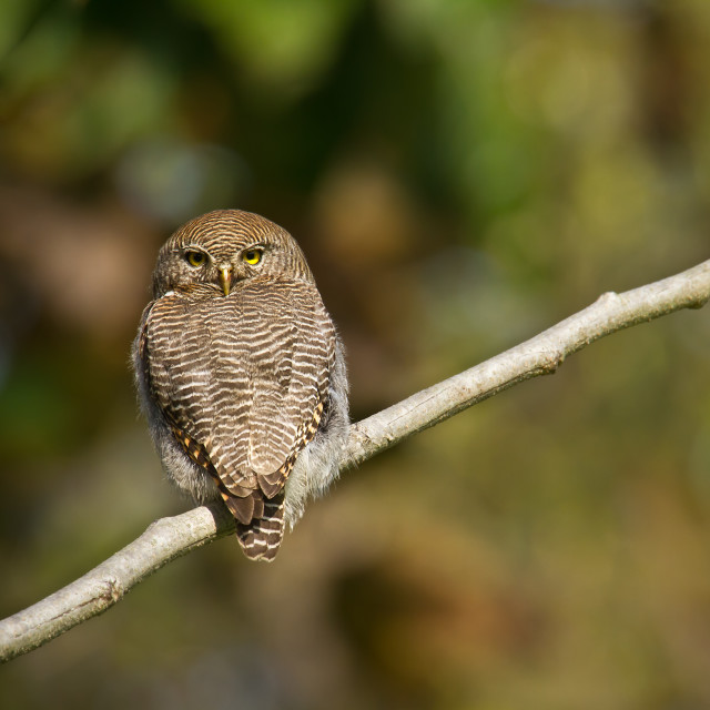 """Jungle owlet in Bardia, Nepal"" stock image"