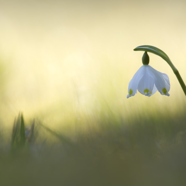 """""""Spring Snowflake in Vosges, France"""" stock image"""