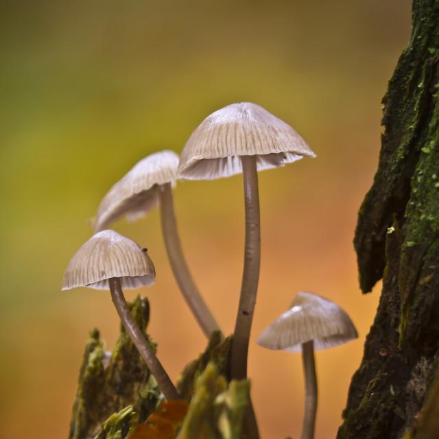 """""""Mycena mushroom in Vosges , France"""" stock image"""