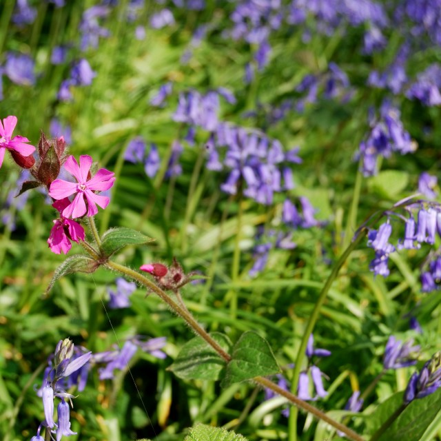 """""""CAMPION IN THE BLUEBELLS"""" stock image"""