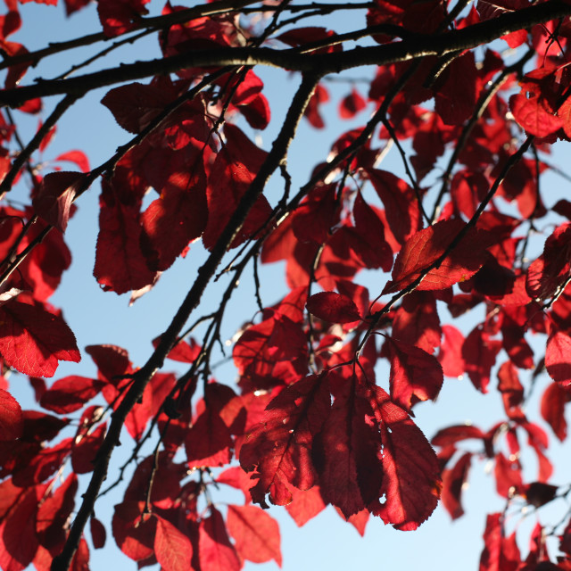 """""""Red Leaves Blue Sky"""" stock image"""