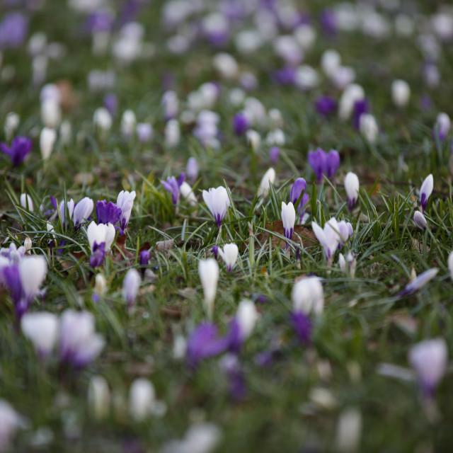 """Purple & White Crocuses"" stock image"