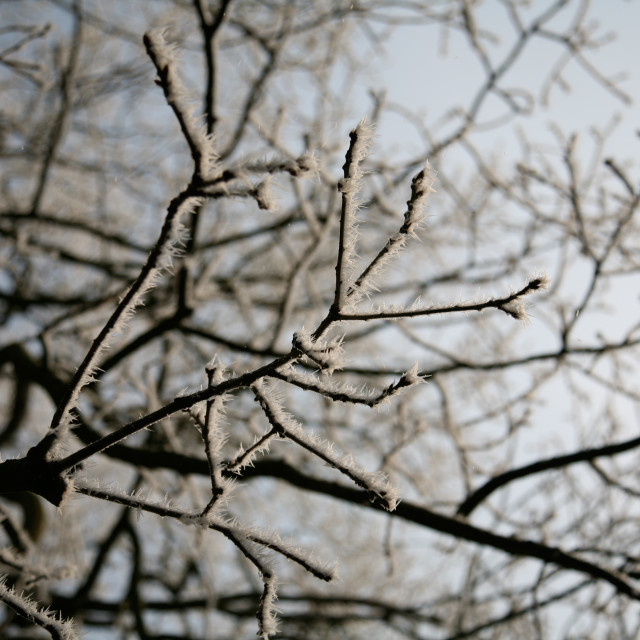 """Frosty Tree"" stock image"