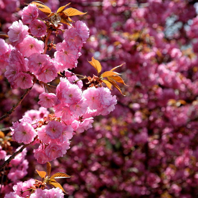 """Pink Blossom"" stock image"