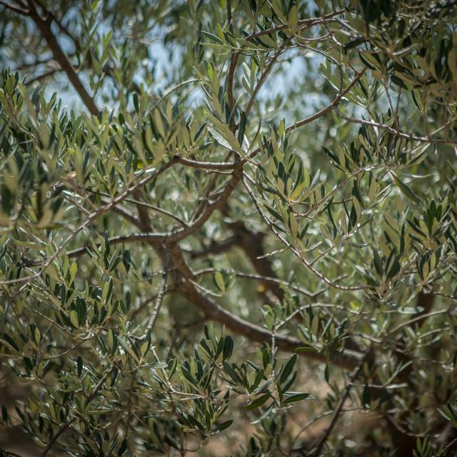 """Italian Olive Trees"" stock image"