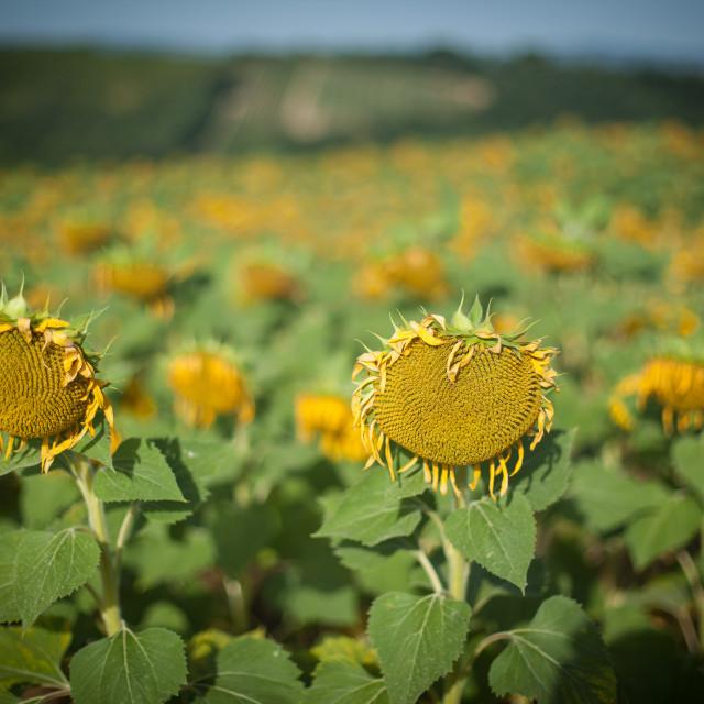 """Wilting Sunflowers"" stock image"