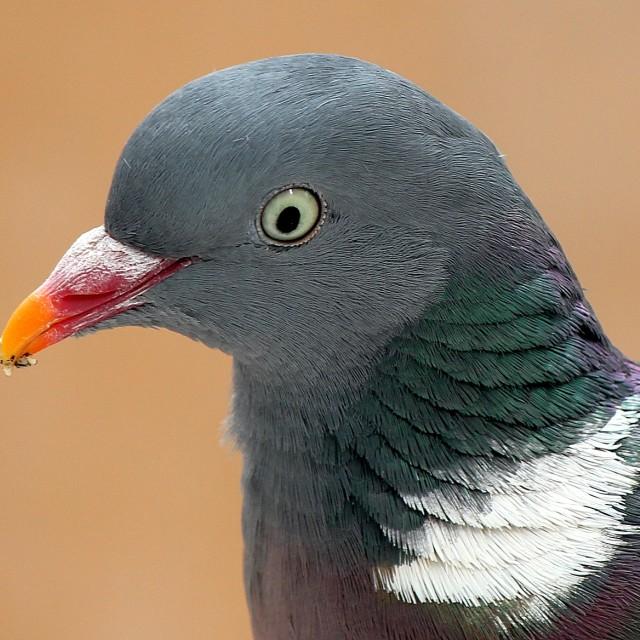 """Wood Pigeon profile"" stock image"