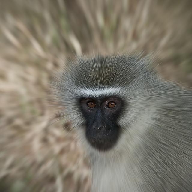 """""""DSC_0739- Vervet Monkey_Zoom"""" stock image"""