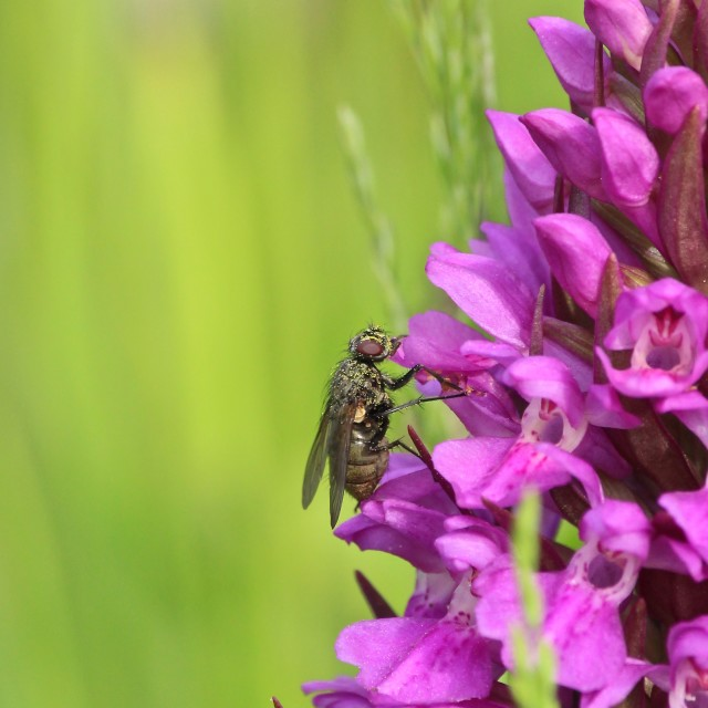 """""""Fly on Wild Orchid"""" stock image"""
