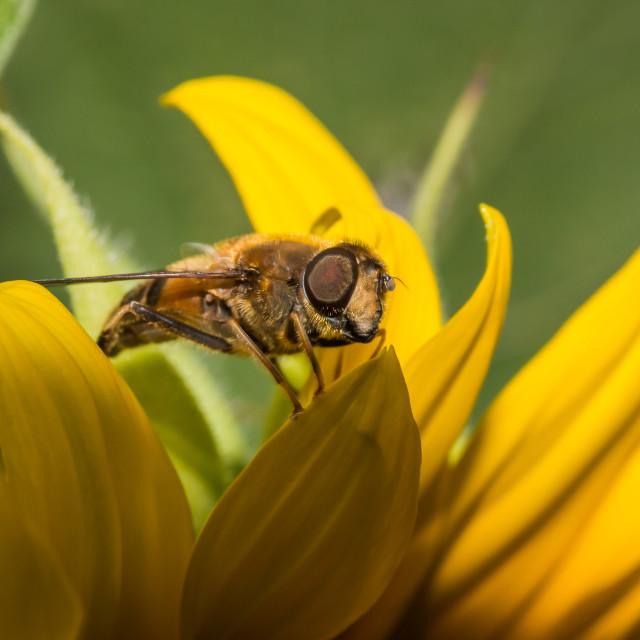 """SunflowerBee"" stock image"