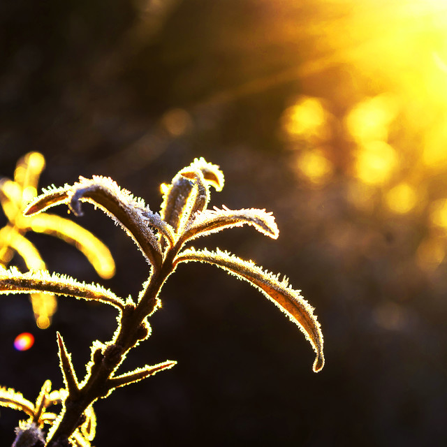 """Sunrise on frosty leaves"" stock image"