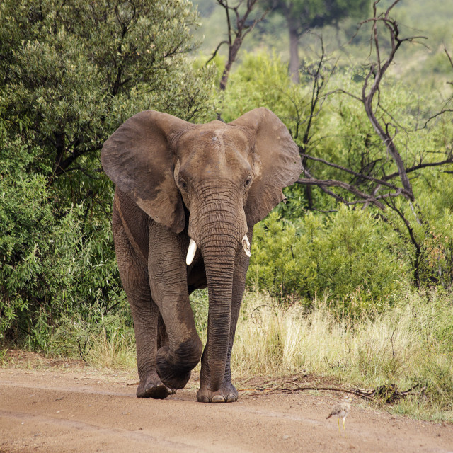 """African Elephant In The Wild"" stock image"