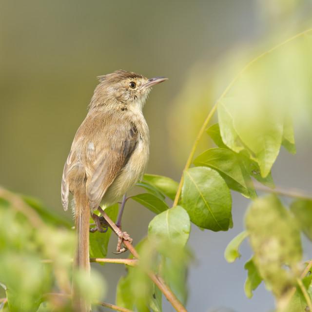 """""""Plain prinia bird in Bardia, Nepal"""" stock image"""