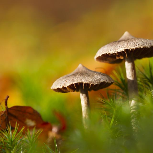"""fawn mushroom in fall season in France"" stock image"