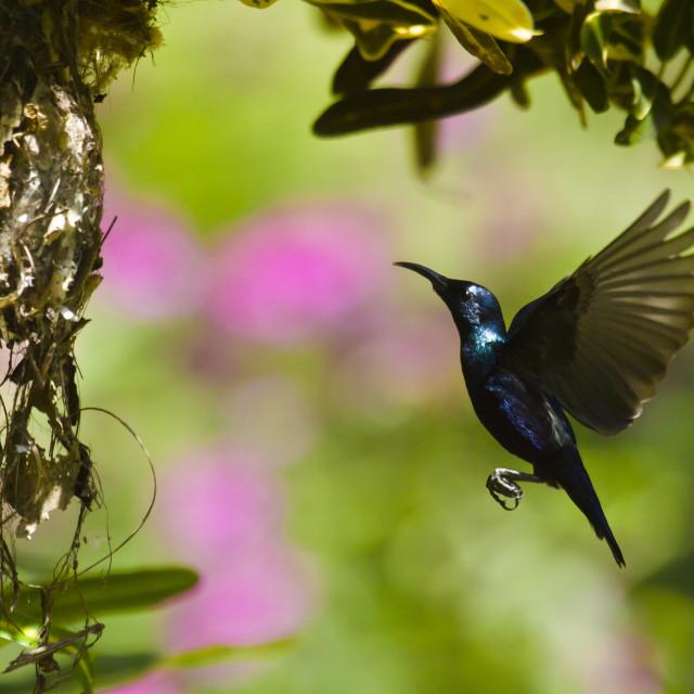 """Flying purple sunbird nesting in Nepal"" stock image"