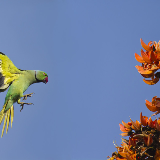 """Flying parakeet with exotic flowers"" stock image"