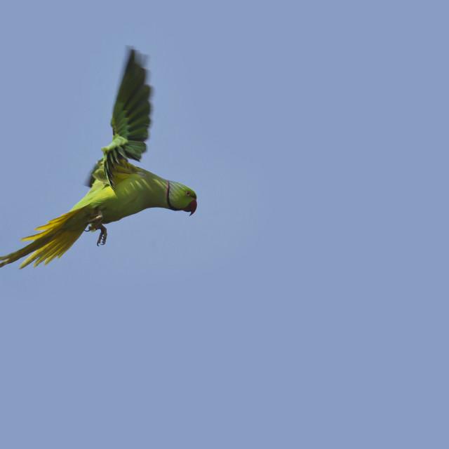 """Flying parakeet in Bardia, Nepal"" stock image"