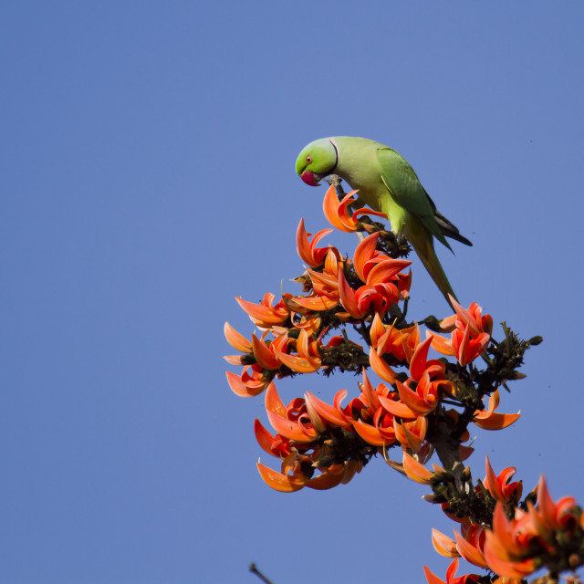 """parakeet with exotic flowers"" stock image"
