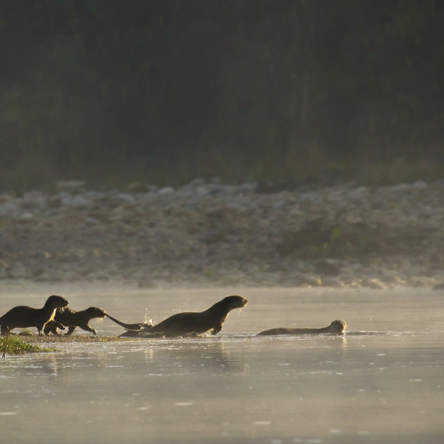"""""""Group of otters in Bardia, Nepal"""" stock image"""