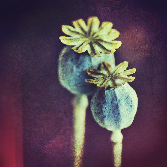 """Poppy Seed Heads"" stock image"