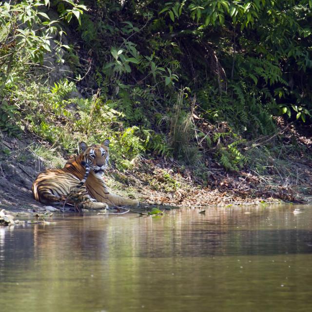 """Wild bengal tiger in Bardia, Nepal"" stock image"