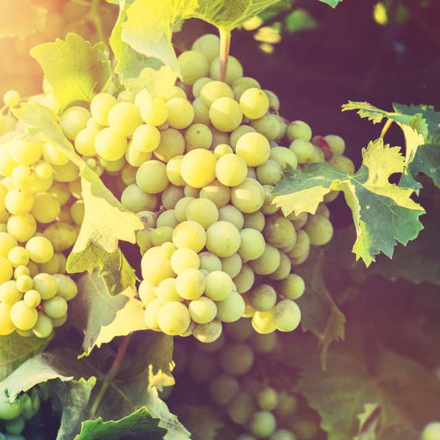 """""""Grapes on the Vine"""" stock image"""