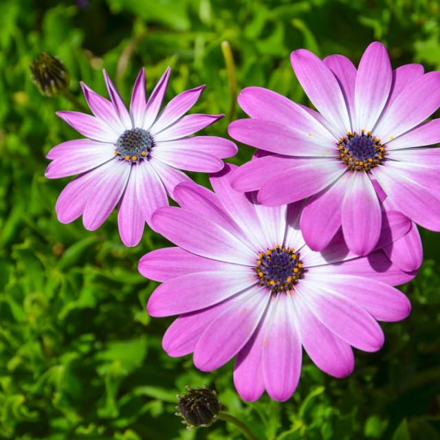"""""""Pink daisies closeup"""" stock image"""