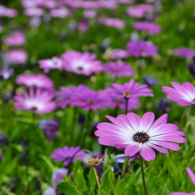 """""""Pink daisy in focus"""" stock image"""