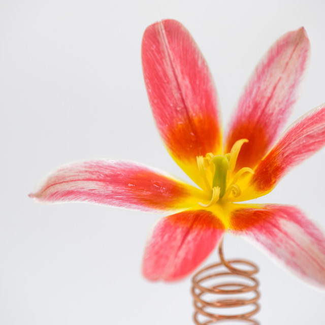 """Flower on a spring"" stock image"